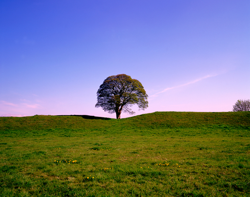 The sycamore tree on the hill at RobinhillFarm