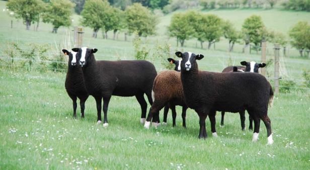Zwartble sheep